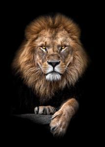 Focused Lion Color Poster