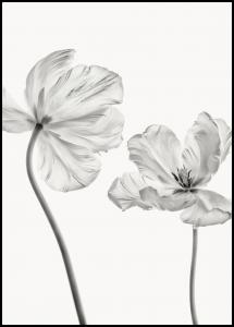 Same tulip front and backview Poster