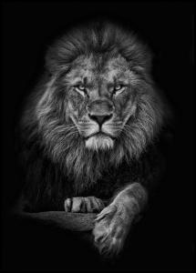 Focused lion Poster